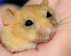 Mature Dormouse